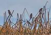Female red-winged blackbirds.