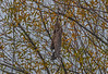 Juvenile red-shouldered hawk takes-off from its perch by diving straight down.  See next image for close up.