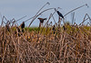 At least one male (red spot on wing) red-winged blackbird, and at least one female (in flight).