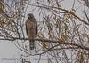 Juvenile red-shouldered hawk.