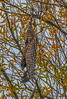 Juvenile red-shouldered hawk takes-off from its perch by diving straight down.  See previous image for wider angle.