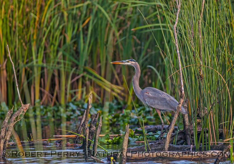 Great blue heron in reeds.