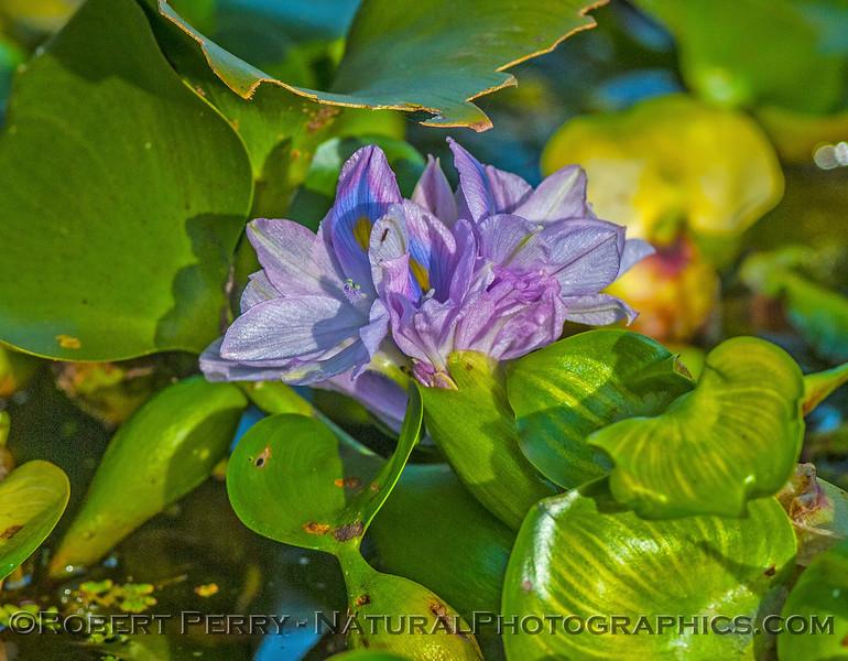 Water hyacinth flower.