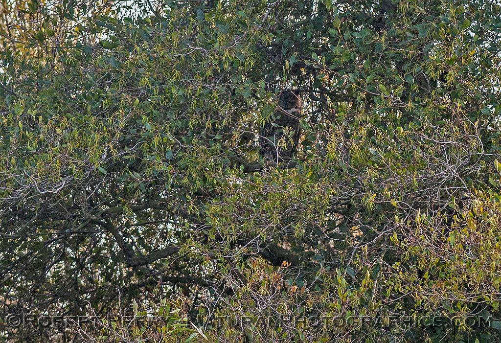 Great horned owl hidden in a tree