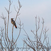 Northern, red-shafted, flicker.