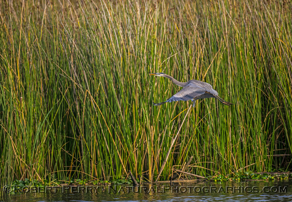 Great blue heron in flight with reeds.