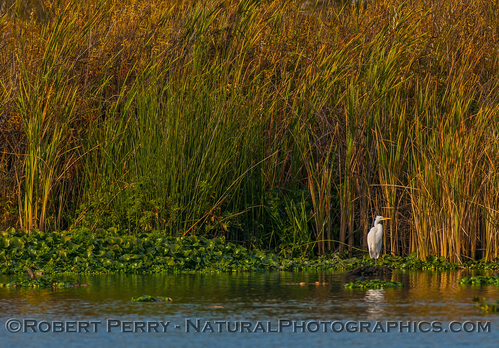 Great (white) heron on water hyacinths near the reeds.