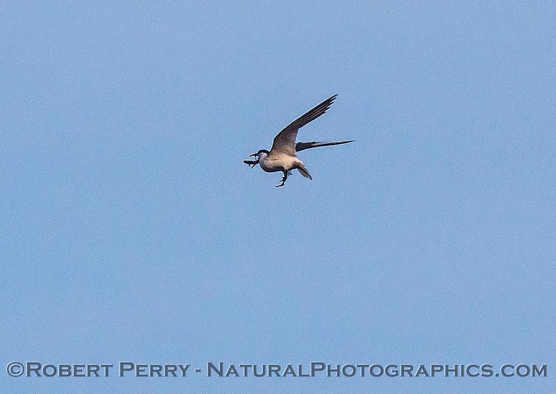 Image 6 of 6:  a Caspian tern carrys, then drops, a fish.