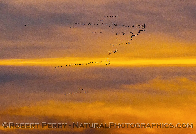 Crackling geese (best species guess) in sunset sky.