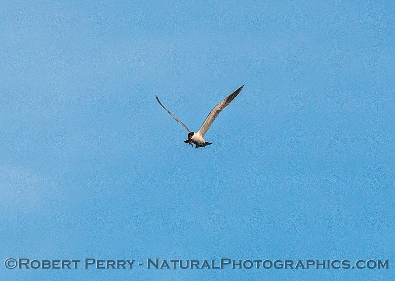 Image 1 of 6:  a Caspian tern carrys, then drops, a fish.