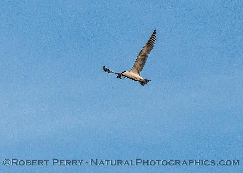 Image 2 of 6:  a Caspian tern carrys, then drops, a fish.