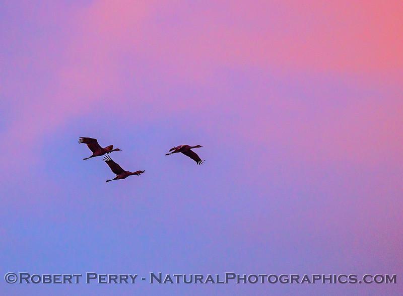 Sandhill cranes in sunset sky.