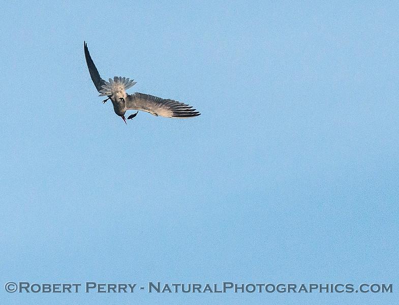 Image 5 of 6:  a Caspian tern carrys, then drops, a fish.