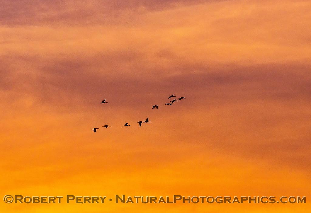Crackling geess - sunset sky.