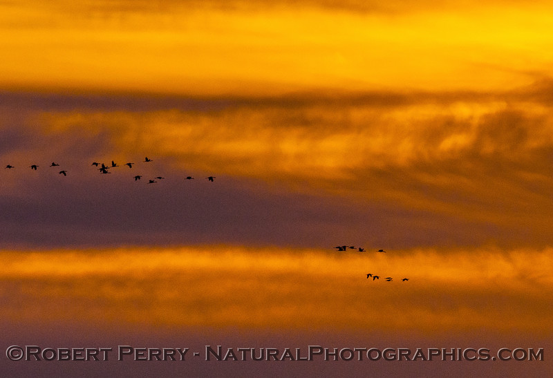 Crackling geese - fall sunset.