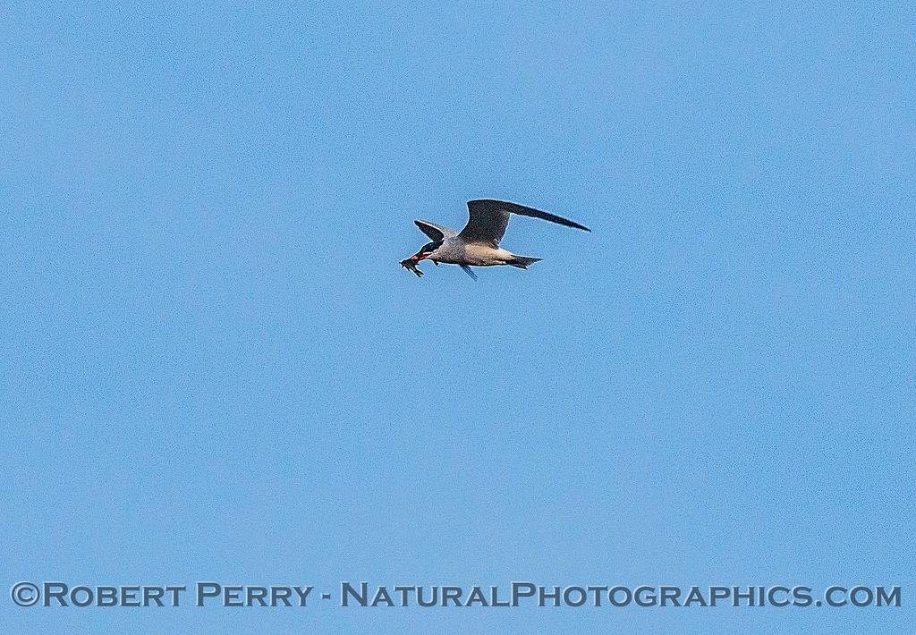 Image 3 of 6:  a Caspian tern carrys, then drops, a fish.