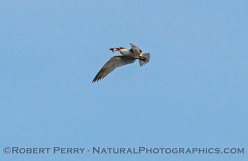 Image 4 of 6:  a Caspian tern carrys, then drops, a fish.
