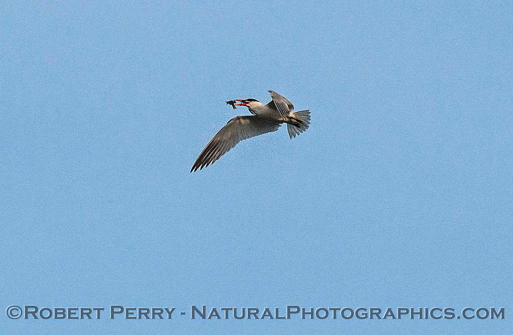 Image 4 of 6:  a Caspian tern carrys, then drops, a fish.