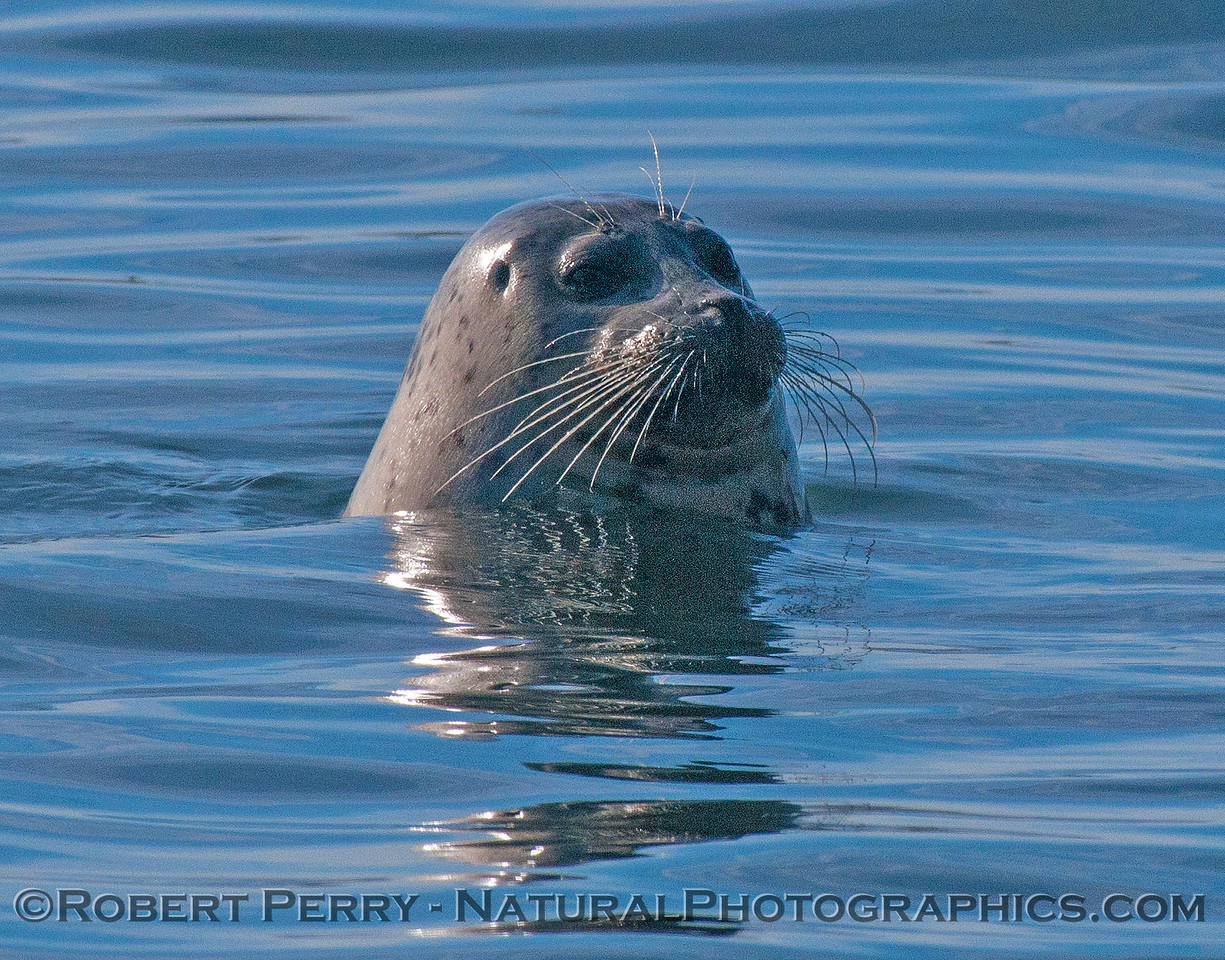 Pacific harbor seal.