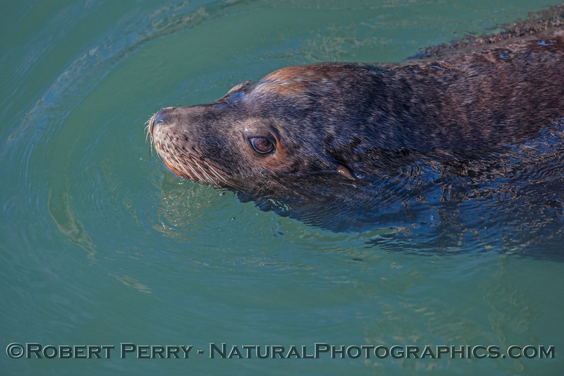 A bull California sea lion.