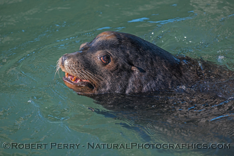A bull California sea lion.