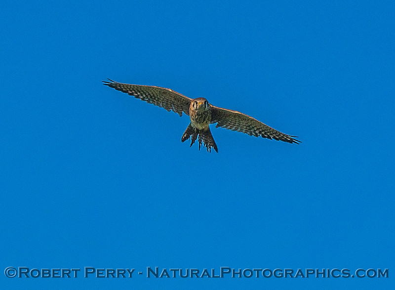American kestrel.  Flying at camera.