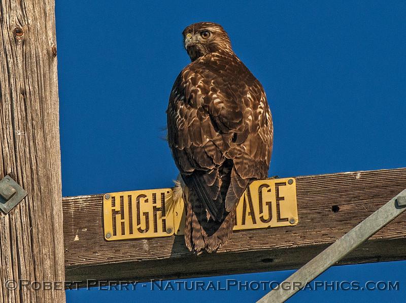 Red-tailed hawk.  High voltage raptor.