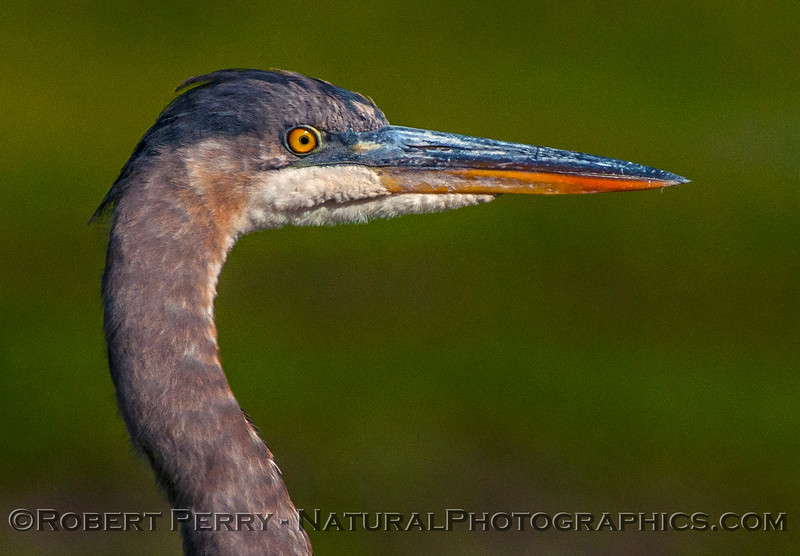 Great blue heron.  Head detail.
