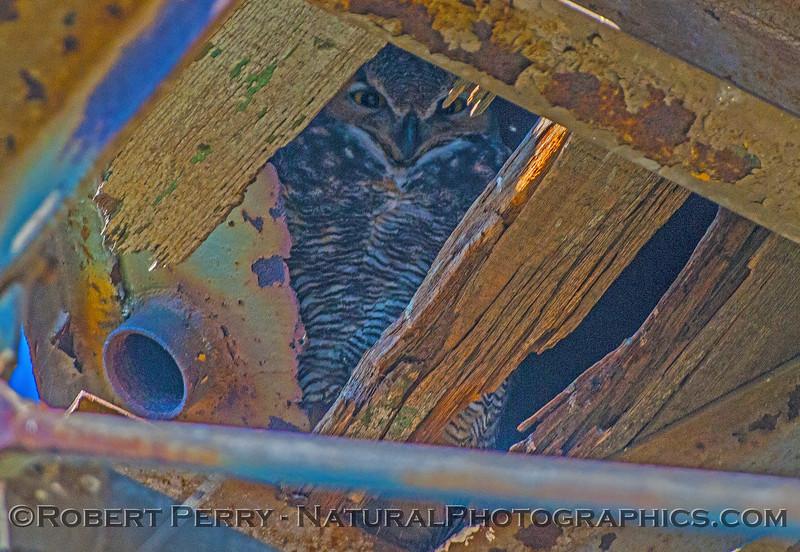 Great horned owl. 2
