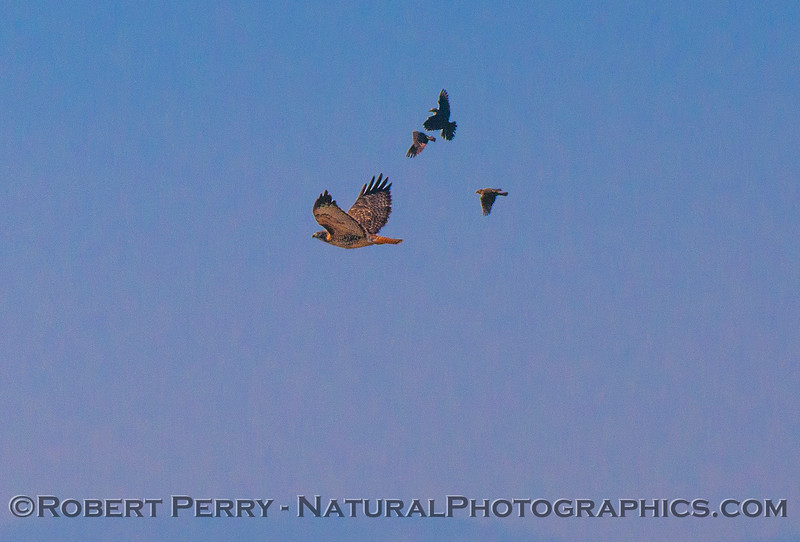 Red-tailed hawk.  Mobbed by red-winged blackbirds.