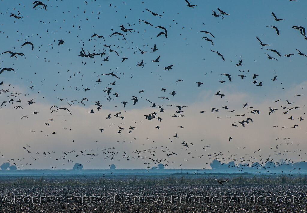 Geese in the sky - flushed by a passing red-tailed hawk.