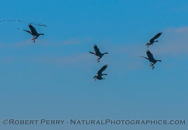 Geese. Landing gears down.
