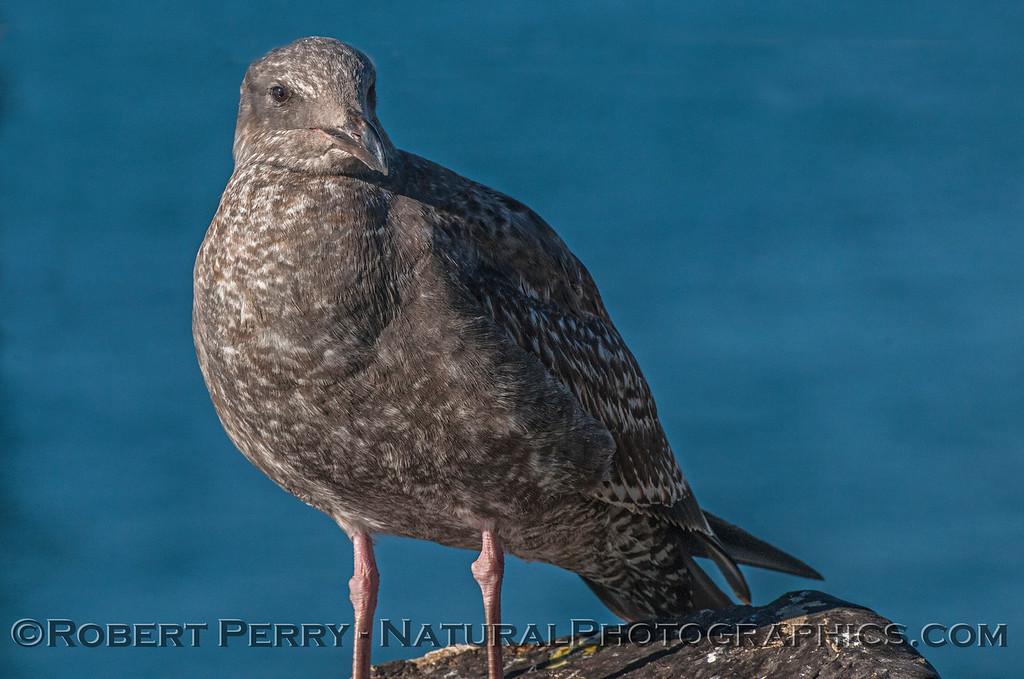 Juvenile California gull. (?)