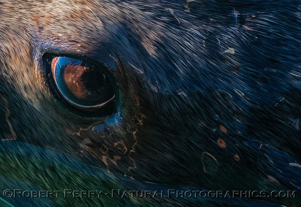Another look at the eye of a bull California sea lion.