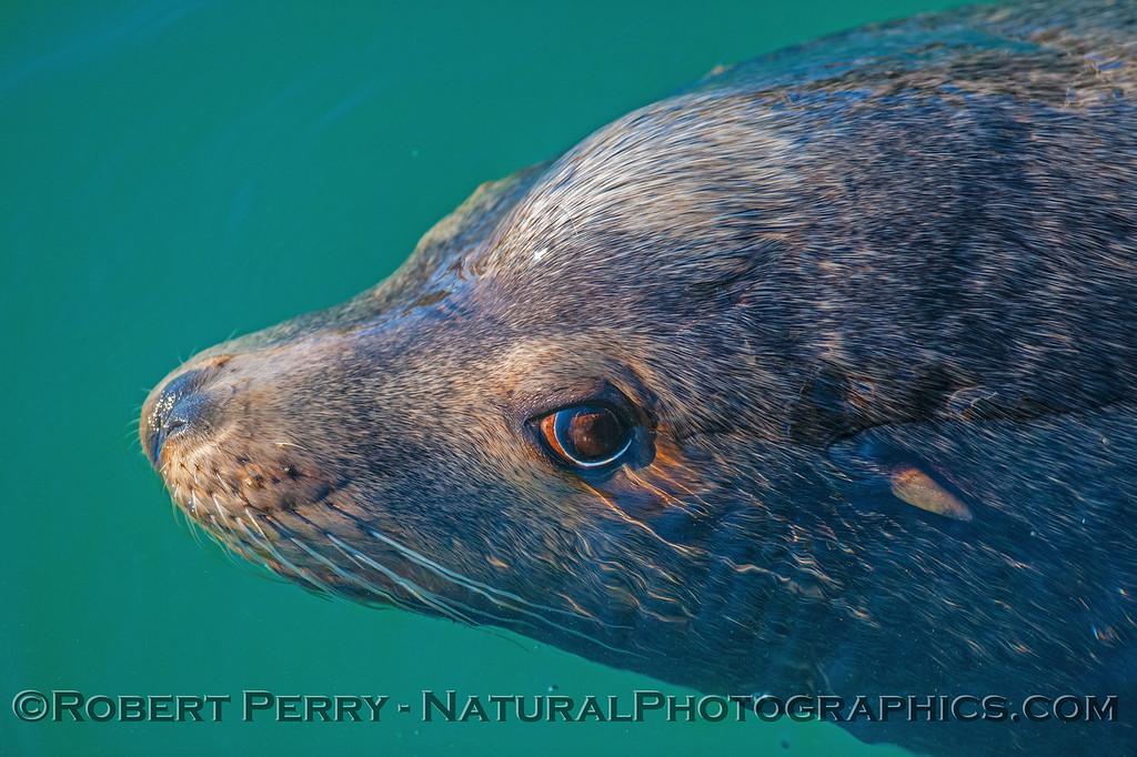Bull California sea lion.