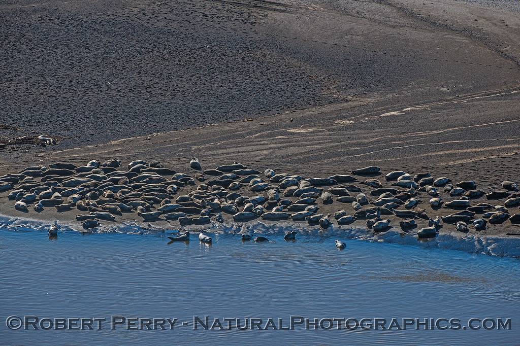 Pacific harbor seals on sand spit - Russian River mouth.