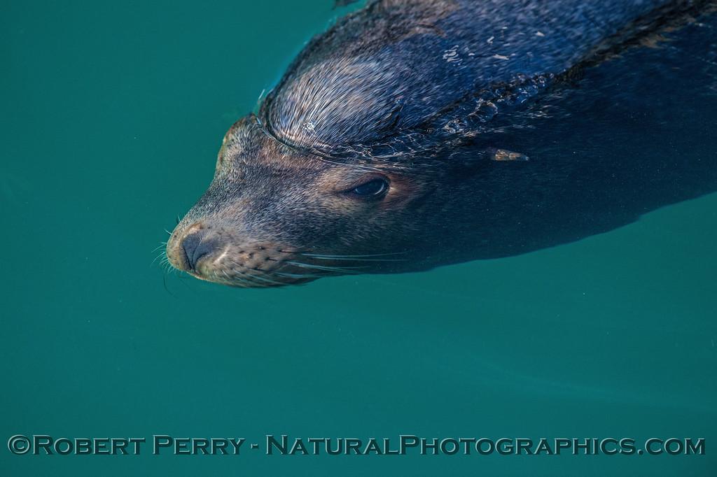 Bull California sea lion partially submerged, eyes open.