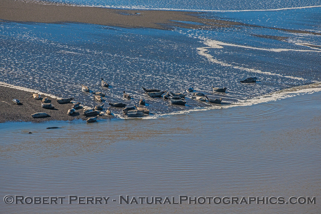 Pacific harbor seals -  low tide on sand spit with wave wash.