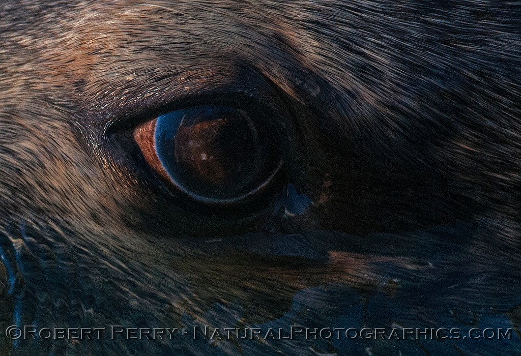 Close up view of a bull California sea lion's eyeball. Who was watching who?