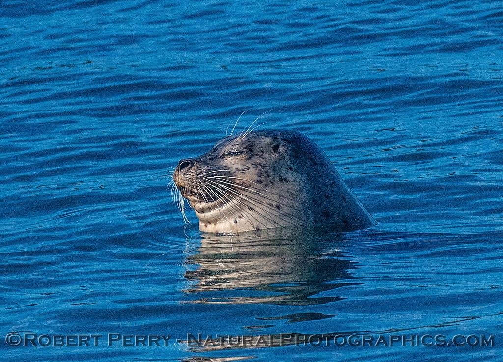 Pacific harbor seal.