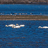 Tundra swans rest and feed.