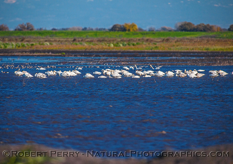 Tundra swans rest and feed in one of several flooded fields.