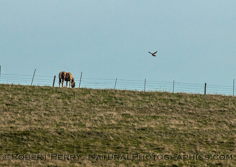 Merlin - hovering near horse.