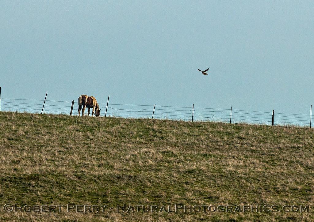 Merlin - hovering near horse.