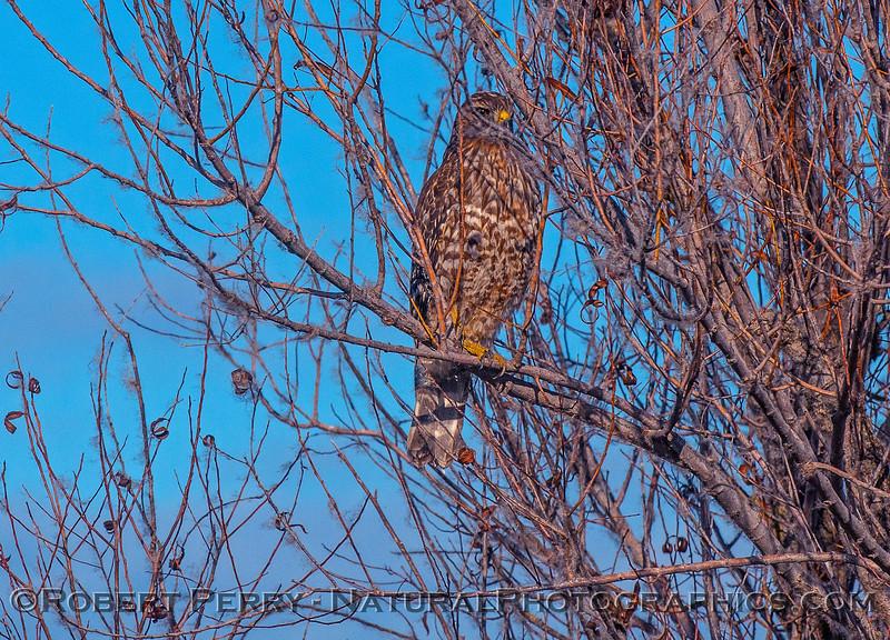 Red-shouldered hawk (juv)