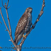 Red-tailed hawk.