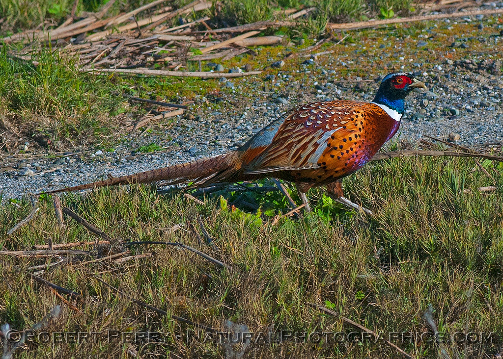 Male ring-necked pheasant.