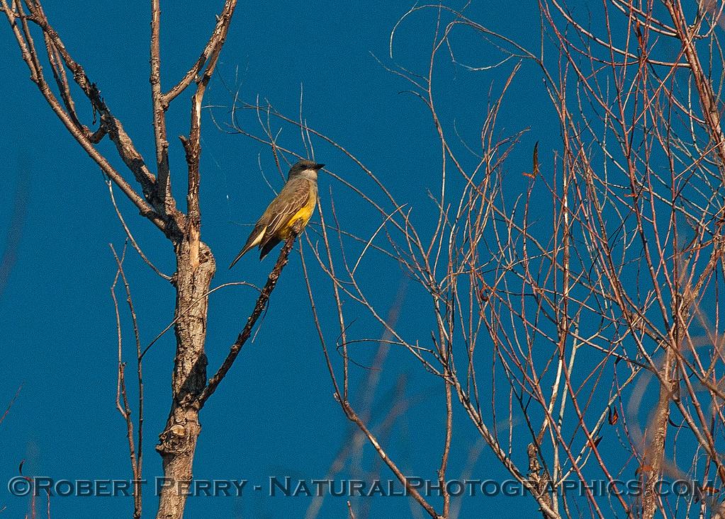 Cassin's kingbird.