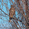 (tentative ID) Juv. red-tailed hawk obscured by branches.