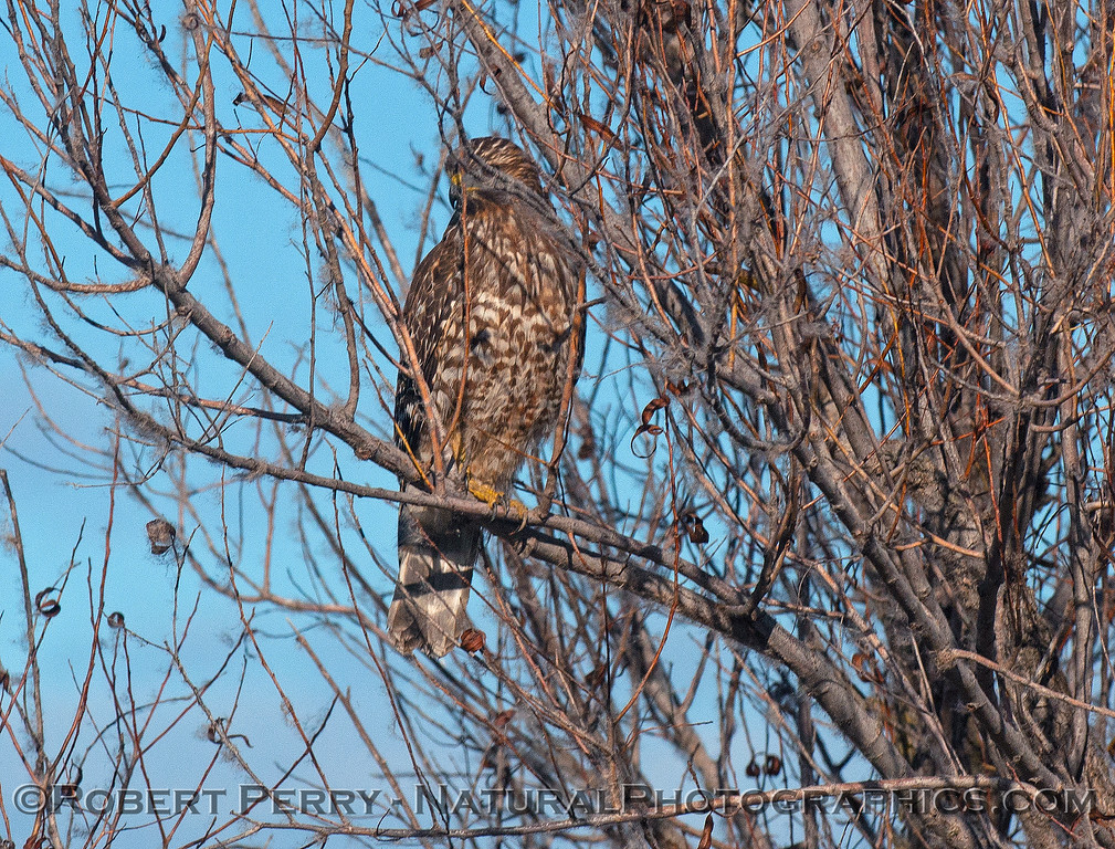 Juv. red-shouldered hawk obscured by branches.